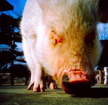 Pig2007